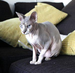 katt utan päls
